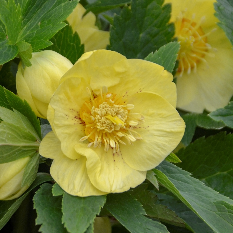 Helleborus ' California Dreaming' photo courtesy of Walters Gardens