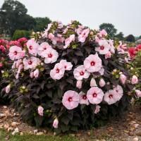 Hibiscus 'Dark Mystery' photo courtesy of Walters gardens