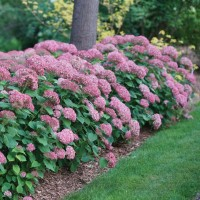 Hydrangea 'Invincibelle Spirit II' photo courtesy of Spring Meadow Nursery
