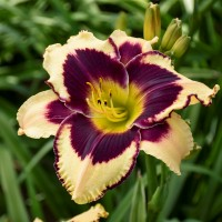Daylily 'Inkheart' photo courtesy of Walters Gardens