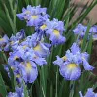 photo of Iris 'Cape Cod Boys' courtesy of Walters Gardens