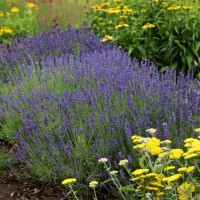 Lavender 'Hidcote Blue' photo courtesy of Walters Gardens