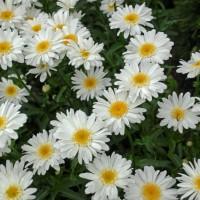 Leucanthemum 'Highland White Dream' photo courtesy of Walters Gardens