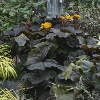 Ligularia 'Britt Marie Crawford' photo courtesy of Walters Gardens