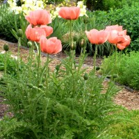 Papaver 'Queen Alexander' photo courtesy of Walters Gardens