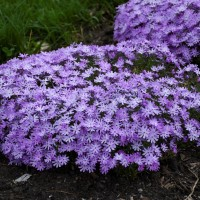 Phlox 'Bedazzled Lavender' photo courtesy of Walters Gardens