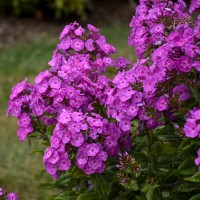 Phlox 'Cover Girl' photo courtesy of Walters Gardens