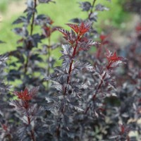 Physocarpus 'Summer Wine Black'  photo courtesy of Spring Meadow Nursery