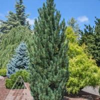 Pinus cembra 'Prairie Statesman' photo courtesy of Iseli Nursery