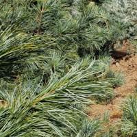 Pinus koraiensis Silveray