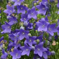 Platycodon 'Fuji Blue' photo courtesy of Walters Gardens