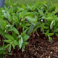 Polygonatum 'Ruby Slipper' photo courtesy of Walters Gardens