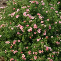 Potentilla 'Happy Face Pink Paradise'  photo courtesy of Spring Meadow Nursery