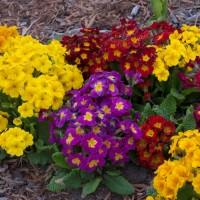 Primula 'Pacific Hybrids' photo courtesy of Walters Gardens