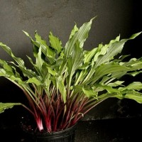 Hosta 'Red Dog' photo courtesy of Naylor Creek Nursery