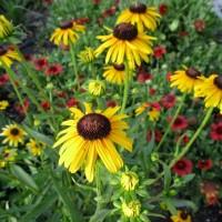 Rudbeckia 'Viette's Little Suzy' photo Missouri Botanical Garden