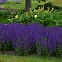 Salvia 'Violet Riot' photo courtesy of Walters Gardens