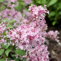 Syringa 'Scent and Sensibility Pink' photo courtesy of Spring Meadow Nursery