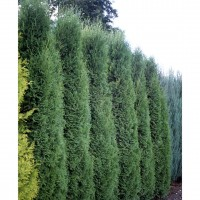 photo of Thuja 'Holmstrup'