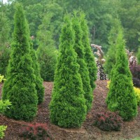 photo of Thuja 'North Pole' courtesy of Spring Meadow Nursery