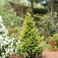 Thuja 'Polar Gold' photo courtesy of Proven Winners