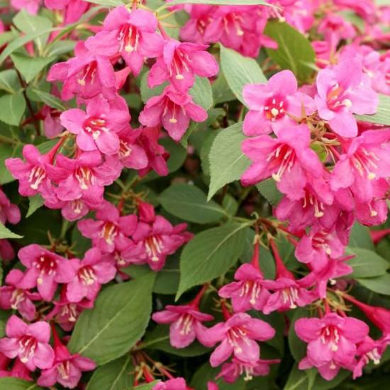Weigela 'Sonic Bloom Pink' photo courtesy of Spring Meadow Nursery