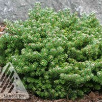 Abies koreana 'Silberperle' photo courtesy of Iseli Nursery
