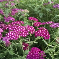 Achillea 'New Vintage Violet' photo courtesy of Proven Winners