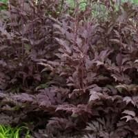Actea ramosa 'Black Negligee' photo courtesy of Terra Nova Nurseries