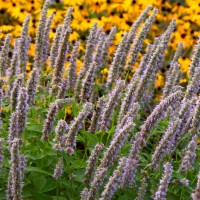 Agastache 'Blue Fortune' photo courtesy of Walters Gardens