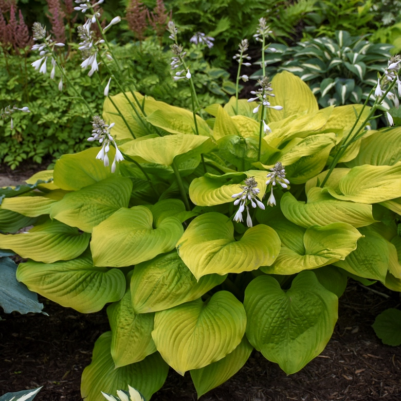 Hosta 'Age of Gold' photo courtesy of Walters Gardens