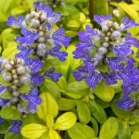 Ajuga 'Cordial Canary' photo courtesy of Feathered Friends