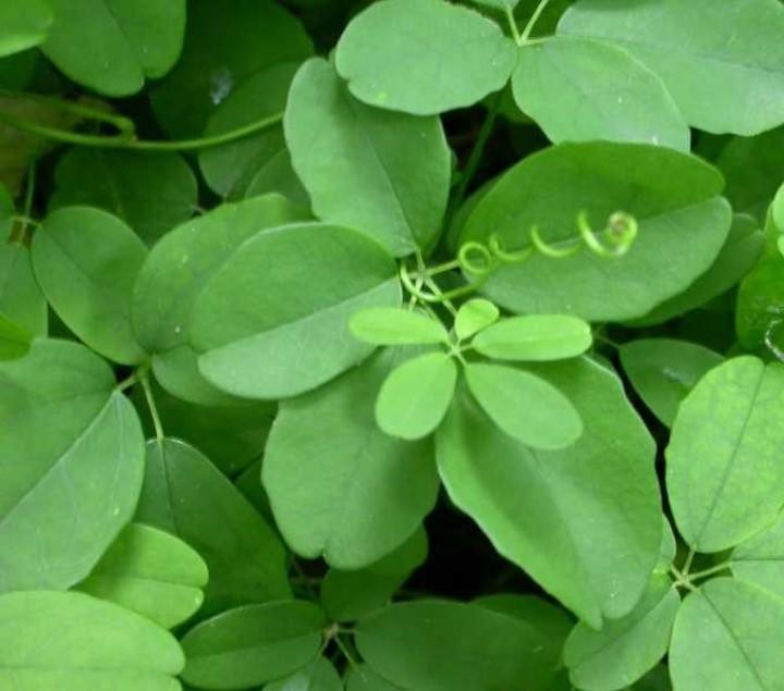 Akebia quinata