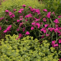 Alchemilla mollis photo courtesy of Walters Gardens