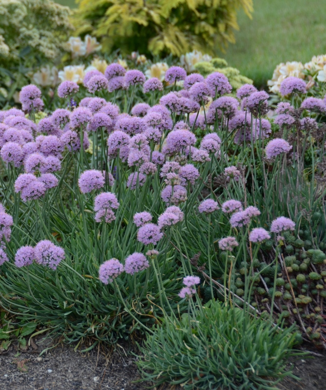 Allium 'Blue Eddy' photo courtesy of Walters Gardens