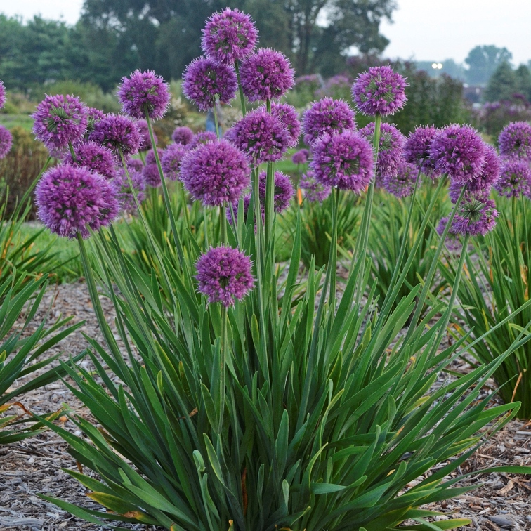 photo of Allium 'Lavender Bubbles' courtesy of Walters Gardens
