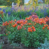 photo of Alstroemeria 'Inca Joli' courtesy of Walters Gardens