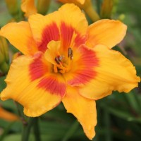 Daylily 'Always A Pleasure' photo Daylily 'Always A Pleasure' photo Whitehouse Perennials Nursery