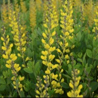 Baptisia 'American Goldfinch' photo courtesy of Walters Gardens