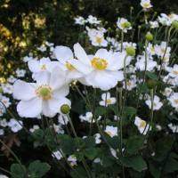 photo of Anemone 'Honorine Jobert'  courtesy of Walters Gardens