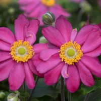Anemone 'Pamina' photo courtesy of Walters Gardens