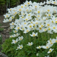 Anemone sylvestris photo courtesy of Walters Gardens