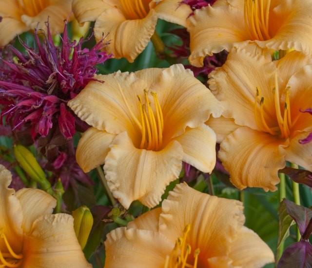 Daylily 'Apricot Sparkles' photo courtesy of Walters Gardens