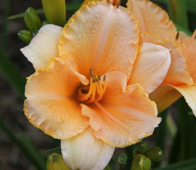 Daylily 'Apricot Surprise'