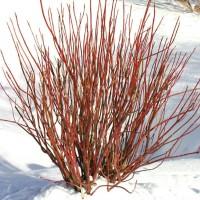 Cornus sericea 'Arctic Fire' photo courtesy of Spring Meadow Nursery