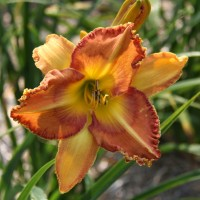 Daylily 'Area Fifty One' photo Suzanne Patry
