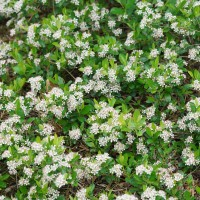 Aronia 'Ground Hog' photo courtesy of Proven Winners