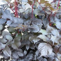 photo of Astilbe 'Chocolate Shogun' courtesy of Paridon Horticulture