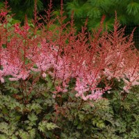 Astilbe 'Delft Lace' photo courtesy of Walters Gardens