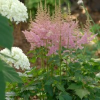 Astilbe chinensis Vision in Pink photo courtesy of Walters Gardens